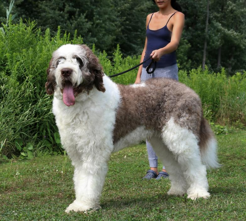 "Goliath Saint Berdoodle our male stud "" Charlie"""