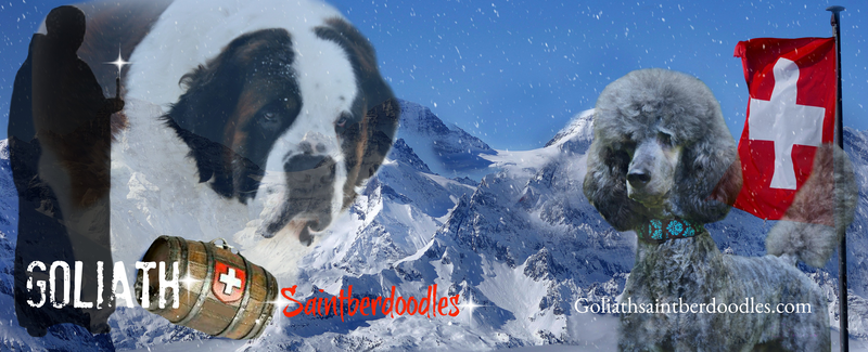 Goliath Saint Berdoodles Benefits-of-the-Dry-Mouth-Dog