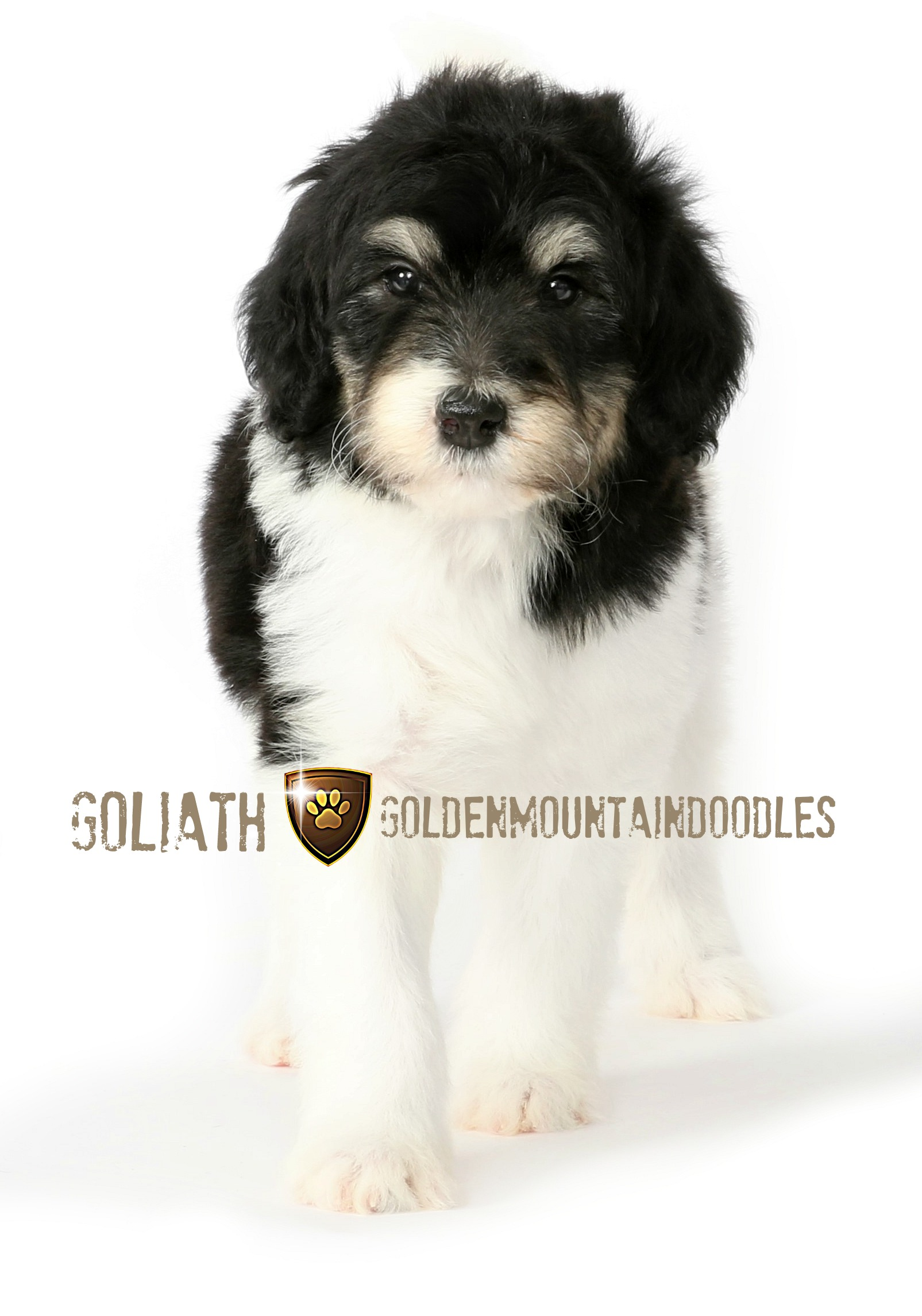 Goliathdoodles.com Golden Mountain Doodle female