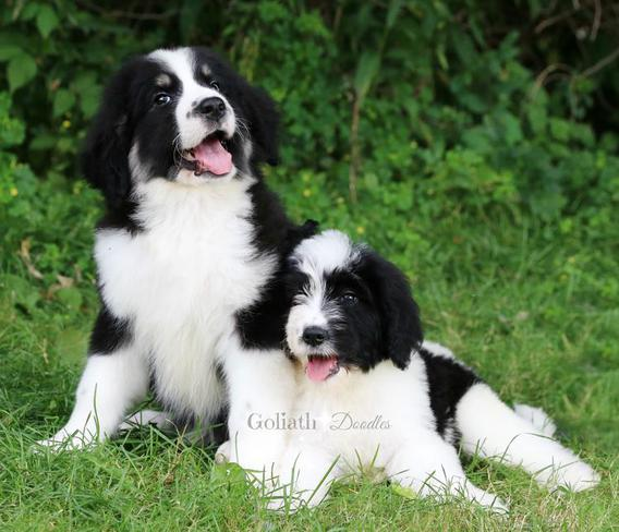 Goliath- Doodle -puppies- for -sale