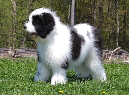 Panda Dog Owned by Goliath Saint Berdoodles